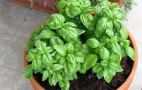 Albahaca: aprovecha esta planta todo el año.