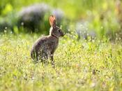 Conejo común