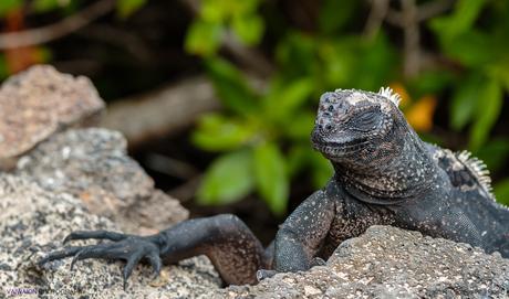 Islas Galápagos. Parte II. Iguanas Marinas. Evolución en Directo