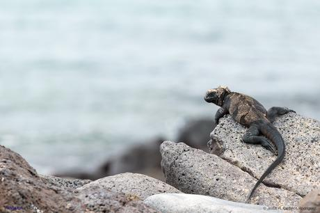 Iguana marina con el mar de fondo. Isla Plaza Sur