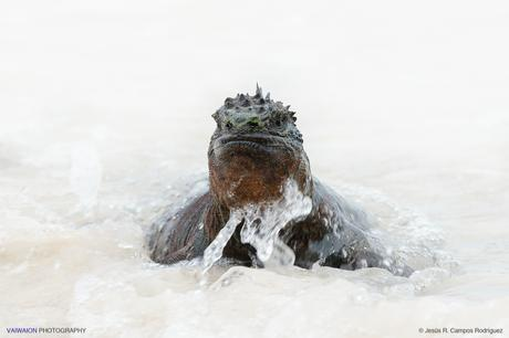 Gran macho saliendo del mar tras una inmersión. En Playa Tortuga Bay. Isla Santa Cruz