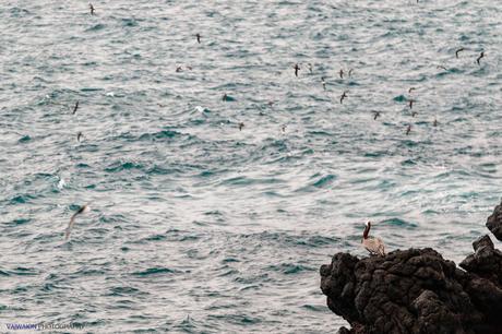 Costa sur de Isla Plaza Sur. Un pelícano de las Galápagos y otras aves marinas en vuelo