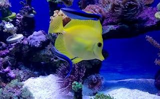 El lábrido limpiador. Primer pez del que se tiene constancia que puede reconocerse en el espejo