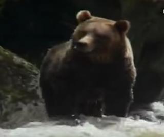 La saliba del oso pardo produce un antibiótico capaz de matar las bacterias más resistentes