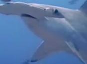 tiburón cabeza pala, primer conoce dieta omnívora