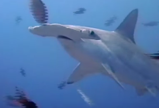 El tiburón cabeza de pala, el primer tiburón que se conoce con dieta omnívora