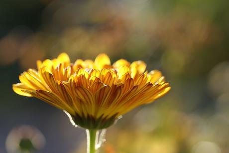Plantas para aliviar el dolor de las várices