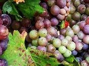 Parra uvas para vino rosado listas vendimia #grapes #nature #wine #makers