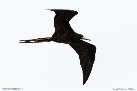 Ejemplar macho en vuelo