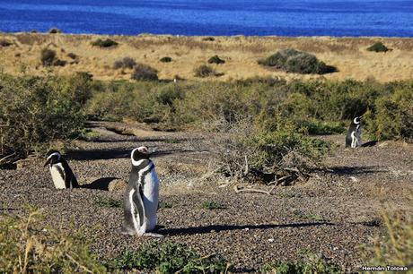 Pingüinera de Punta Tombo