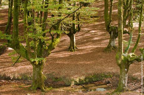 Hayedo de Otzarreta otoño paisaje Pais Vasco Euskadi