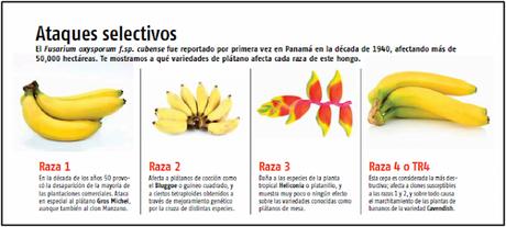 El mal de Panamá, ¿está en riesgo el plátano?