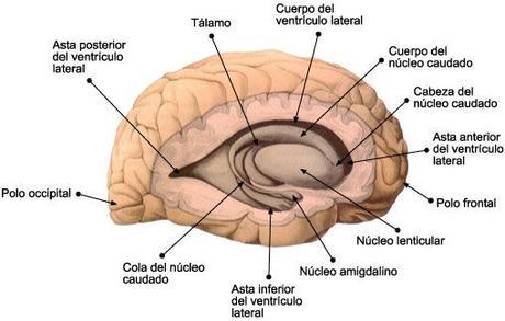 nucleo-caudado