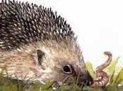 Erizo Común (Erinacea europaeus) Hedgehog
