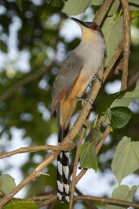 Cuco Lagartero de la Española ( Hispaniolan Lizard-cuckoo) Coccyzus longirostris (Hermann, 1783)