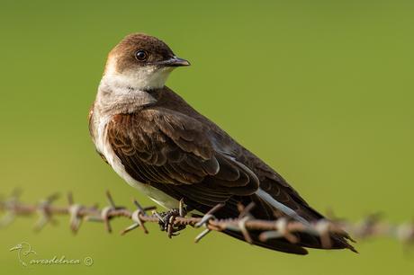Golondrina parda (Brown-chested Martin) Progne tapera