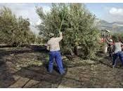aceite oliva temprano