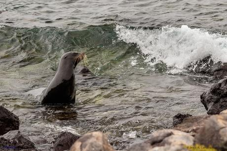 León marino de las Galápagos (Zalophus wollebaeki). Islas Galápagos. Ecuador