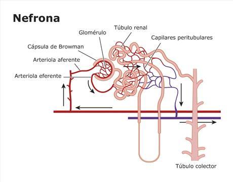 Estructura de la nefrona