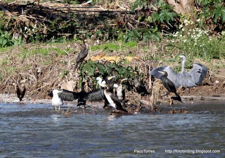 Concentración de cormoranes
