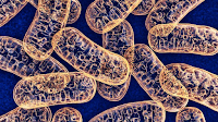El ADN Mitocondrial puede ser Heredado por vía Paterna