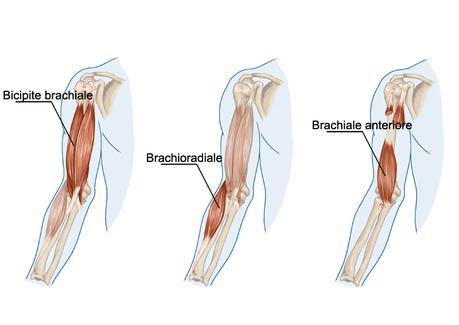 Resultado de imagen de biceps braquiorradial