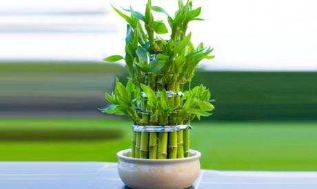 BAMBU-DE-LA-SUERTE-540x323 PLANTAS Y FLORES DE INTERIOR: Bambú de la suerte