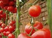 Tomates jardín: proyecto para Mayo