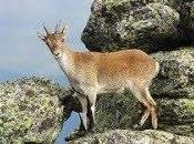 población cabra montés Sierra Nevada