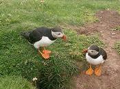 Avistamiento Puffins Shetland Islands