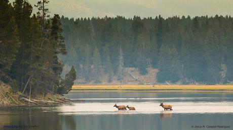 Grupo de wuapities cruzando el Río Yellowstone al despuntar el día