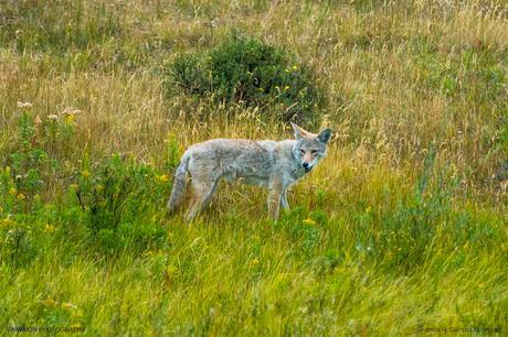 Un coyote. Qué mas se puede pedir