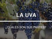 uvas: ¿qué partes tienen?