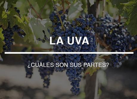 Las uvas: ¿qué partes tienen?