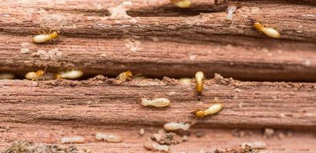 ¿Cuántas especies de termitas hay en España?
