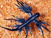 Superbabosa azul