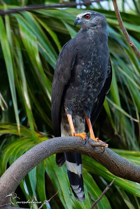 Gavilán Patas Largas ( Crane Hawk ) Geranospiza caerulescens (Vieillot, 1817)