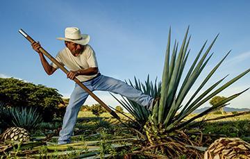 Maguey: un agave que nos provee diversos productos agroalimentarios nativos