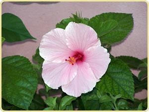 Hibiscus//Rosa china//cucarda