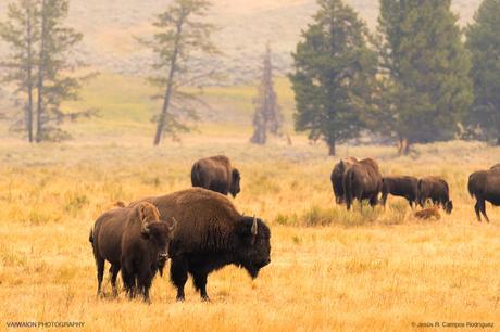 ¡Tatanka!. Búfalos en el afortunado Hayden Valley