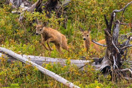 Más ciervos mulos. Esta vez, corriendo por el bosque