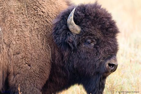 Primer plano de búfalo