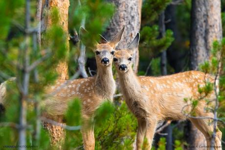 Pareja de simpáticos ciervos mulos (Odocoileus hemionus) en el bosque