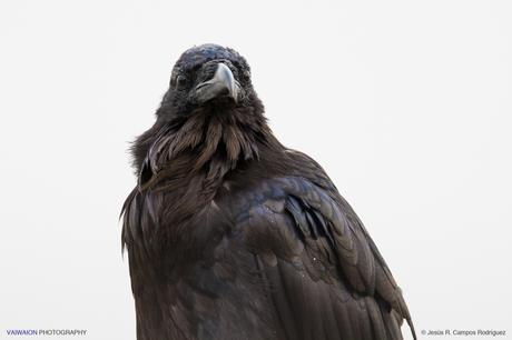 Retrato del mítico raven o cuervo americano