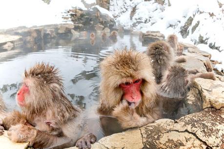 Japanese-snow-monkeys.jpg.optimal ▷ ¿Cómo es viajar en Japón?