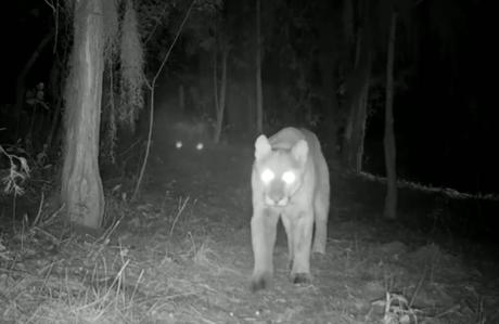 Video: captan puma cazando en alguna sierra de San Luis Potosí