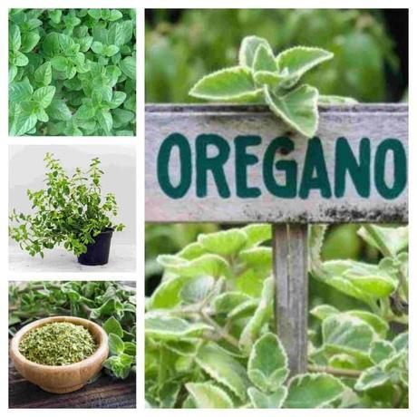 ¿Cómo plantar Orégano?