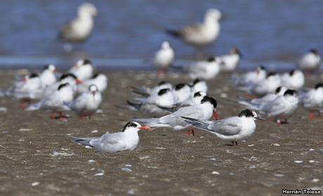 Gaviotines en Punta Rasa