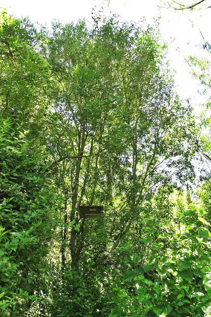 Murta (Myrceugenia glaucwscwns)