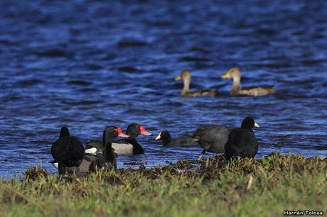 Patos y otras acuáticas en invierno